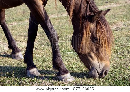 The Brown Horse Is Grazing Grass On The Pastureland.