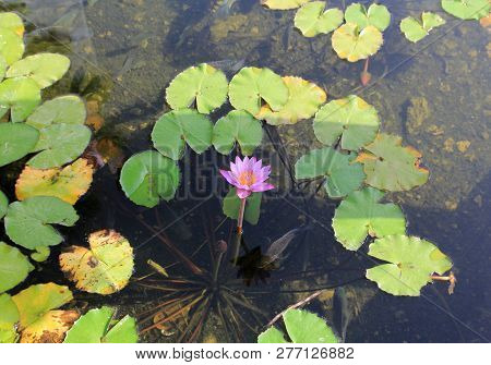 Single Pink Lotus On The Water Surface And Fishes Underwater