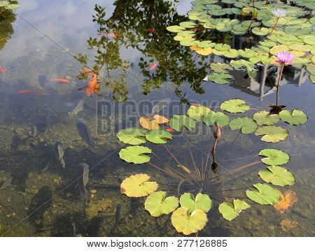 Single Pink Lotus On The Water Surface And Red Fishes Underwater