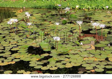Many White Lotuses On The Water Surface