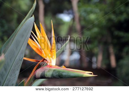 Bird Of Paradise Flower On The Background Of Leaves