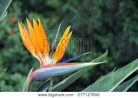 The Bird Of Paradise Flower On The Background Of Leaves
