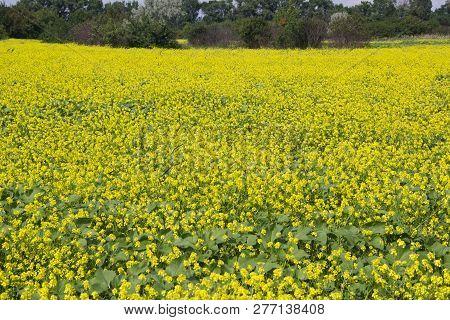 Flowering Field With Rape. Beautiful Summer Landscape
