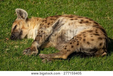 Hyena Laid Down Peacefully Sleaping Over Grass