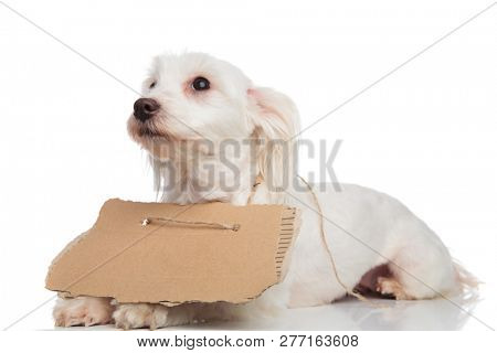 side view of beggar bichon looking up to side while lying on white background