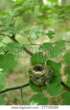 Small Empty Nest Of The Beech Tree