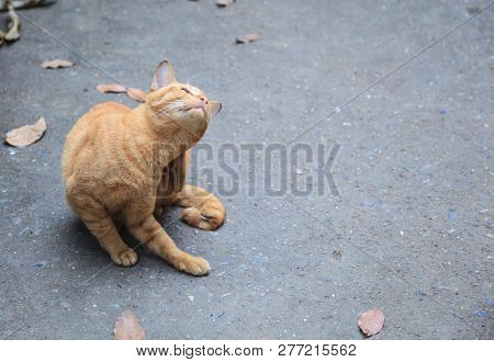 Stray Mixed Breed Orange Striped Color Street Cat Feels Itchy, Scratching Its Back With Hind Leg On