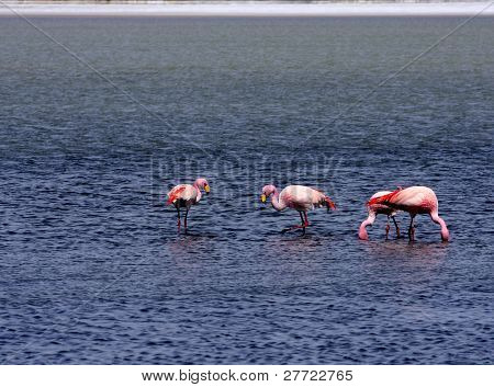 Flamingos on lake, Altiplano, South part of Bolivia poster