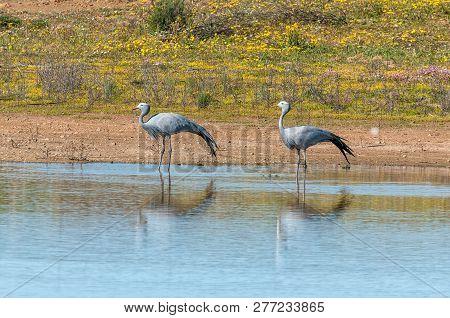 Two Blue Cranes, Anthropoides Paradiseus, At Matjiesfontein Near Nieuwoudtsville In The Northern Cap