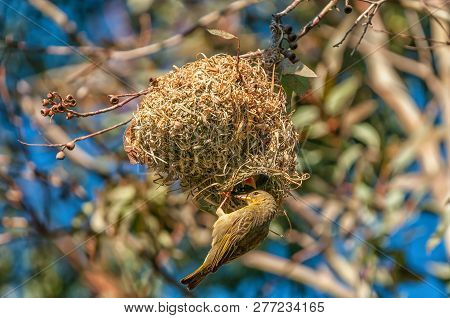 A Female Cape Weaver, Ploceus Capensis, At A Nest At Female Cape Weaver At Matjiesfontein Near Nieuw