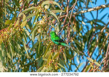A Malachite Sunbird, Nectarinia Famosa, In A Bluegum Tree At Matjiesfontein Near Nieuwoudtville In T