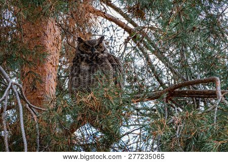 Great Horned Owl In A Pine Tree.