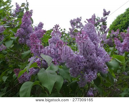 Branches Of Blooming Bush Of Purple Lilac