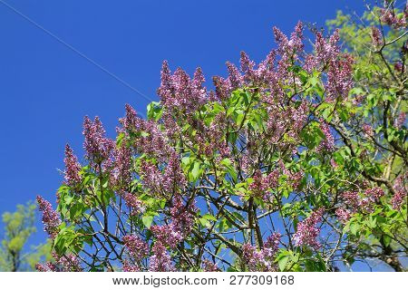 Blooming Bush Of Lilac On The Background Of Blue Sky