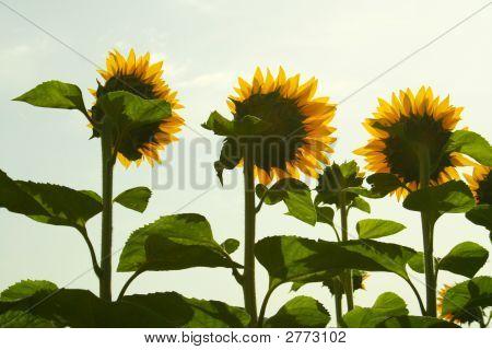 Yellow Sentinels