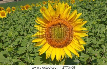 Sunflower In The Village Field