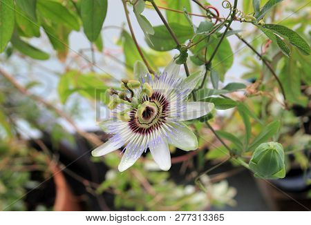 The Single Passion Flower On The Branch