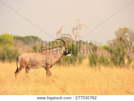 Beautiful Close-up Of A Rare Endangered Roan Antelope On The Dry African Savannah - Hwange National