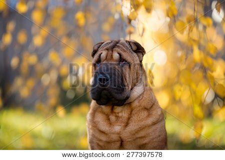 shar pei on nature background, autumn background