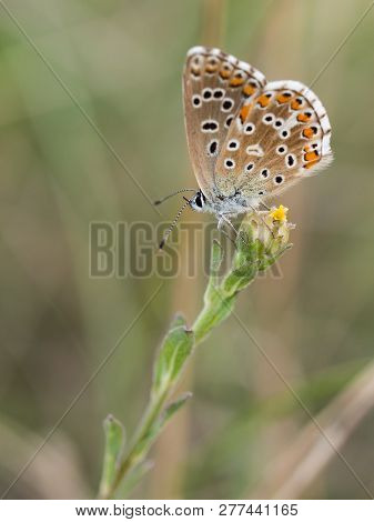 Beautiful Adonis Blue Butterfly ( Polyommatus Bellargus ) Female Sitting And Resting On A Blooming P