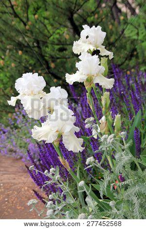 Many White Irises On The Flower Bed