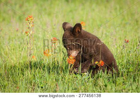 Black Bear Cub (ursus Americanus) Sniffs Prairie Fire Flower Summer - Captive Animal