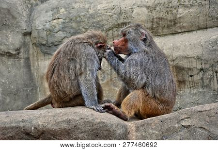 Hamadryas Baboons. Two Baboons Sit On A Rock And Take Care Of Each Other. Wildlife. Close-up Portrai