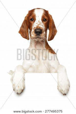 Portrait Of A Young Springer Spaniel Above Banner, Isolated On White Background. Animal Themes