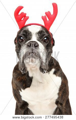 Boxer Dog In Red Carnival Antlers Of The Christmas Deer. Christmas Animals Theme
