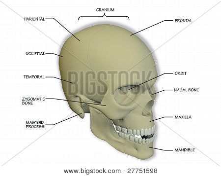 bones of the human skull