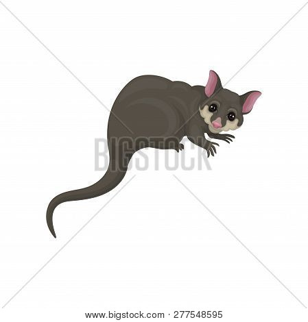 Detailed Flat Vector Icon Of Brushtail Possum With Pink Nose And Ears. Australian Marsupial Animal.