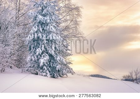 Winter Forest Nature. Pine Forest In Winter. Nature. Pine Forest Under Snow. Natural Environment. Fo