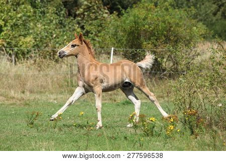 Running Foal On Pasturage