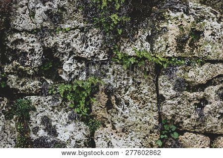 Close Up Of Old Gray Dirty Stone Wall Bricks Decorated With Moss, Lichens And Plants Leaves. Mosses