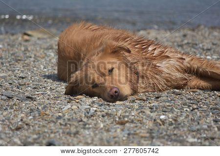 Beautiful Close Up Look At A Yarmouth Tolller Dog Sleeping.