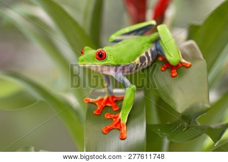 Red eyed tree frog, Agalychnis callydrias from the tropical rain forest in Central America, Costa Rica, Panama And Nicaragua