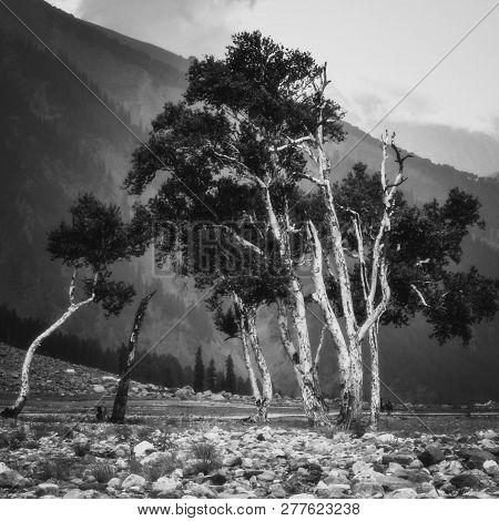 A Bunch Of Trees Growing On A Rocky Terrain Near Thajwas Glacier In Sonmarg Kashmir. Trees In Black