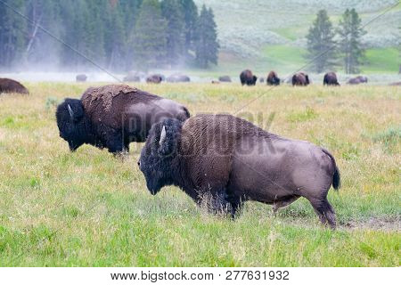 The Herd Bisons In Yellowstone National Park, Wyoming. Usa.  The Yellowstone Park Bison Herd In Yell