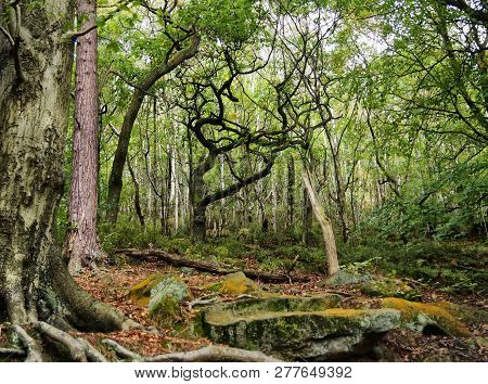 Mixed Old Trees With Twisted Branches In Ancient An English Woodland Clearing With Large Moss Covere
