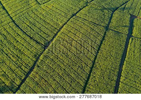 Aerial View Of Green Corn Field. Abstract Geometric Shapes Of Agricultural Parcels. Lush Landscape I