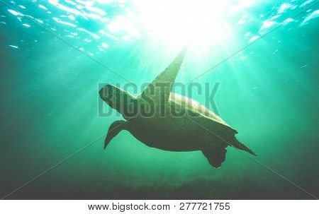 Silhouette Of Sea Turtle Swimming Underwater In Galapagos National Park - Animal Nature Conservation