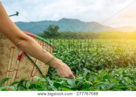 European Young Woman Picking Fresh Oolong Tea Leaves In Harvest Basket By Hand In Focus On The Hills