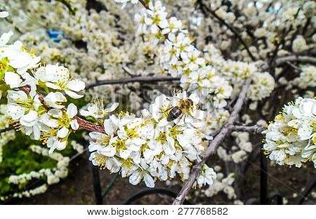 Bee On Apple Flower. Apple Blossoms In Spring. Flowers Apples. Branches Of Blossoming Tree