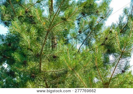 Pine Cones On The Tree. Pine In The Forest. Evergreen Pine. Pine