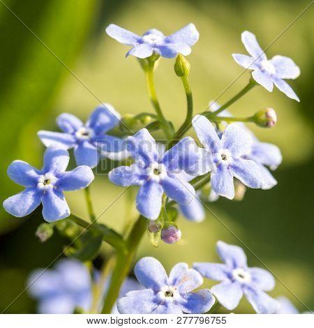 Gentle Blue Flowers Forget-me-not (myosotis Sylvatica) On Green Natural Background