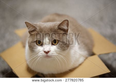 Close Up Of A Cat With Lilac White Fur In A Small Cardboard Box Looking At Camera
