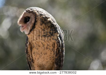 this is a close up of a lesser sooty owl poster