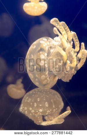 The Jellyfish In The Osaka Aquarium, Japan