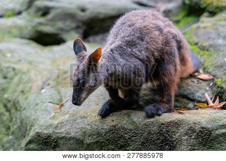 Brush Tailed Rock-wallaby Or Small-eared Rock Wallaby Petrogale Penicillata Ready To Jump From A Roc