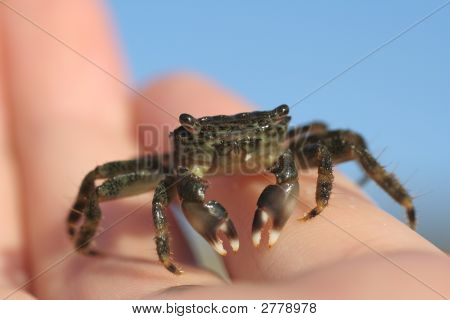 Crab In Hand